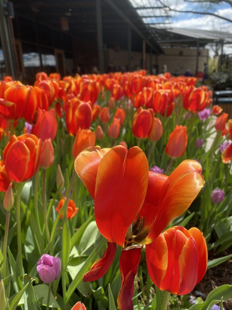 Dallas Arboretum and Botanical Garden - Dallas Bloom